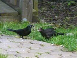 grackle feeding its offspring new jersey bird photos