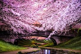 cherry blossom trees in japan most interesting trees in the world