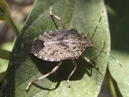 stink bug 101 an introduction to stink bugs the infinite spider