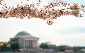 cherry blossom trees in washington d c bloom weeks early travel