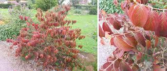 arbuste feuillage pourpre persistant les plus beaux feuillages d u0027automne inspirations desjardins