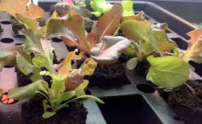 getting fresher greens this winter u2014 indoor gardening is easier