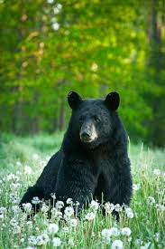 100 best reference black bear images on pinterest american