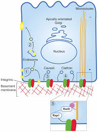 integrins and epithelial cell polarity journal of cell science