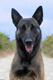belgian sheepdog images picture of a purebred belgian sheepdog malinois stock photo
