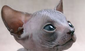 sphynx sweaters sphynx cat ideal for wealthy recluse with allergy