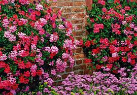 geranien balkon obi balkon und beetberater infos zu balkonblumen