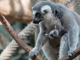 Bronx Zoo Holiday Lights by Newborn Baby Lemurs At Bronx Zoo Business Insider