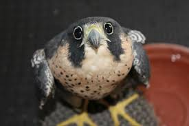 Puppy Eyes Meme - falcon version of puppy eyes animals know your meme