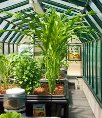 aquaponics world llc is proving that corn can be grown in an
