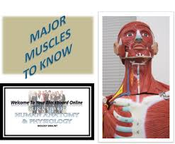 Survey Of Human Anatomy And Physiology Biol2404 Muscles Of The Head Chest Shoulder And Upper Limb