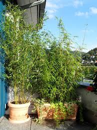 topfpflanzen balkon bambus als sichtschutz für terasse und balkon bambus und