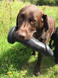 Meme Sex Toy - video of labrador who finds a giant sex toy while being taken for