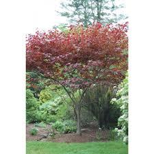 redbud native plant nursery cercis canadensis u0027forest pansy u0027 forest pansy eastern redbud