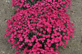 dianthus flower paint the town magenta pinks dianthus hybrid proven winners