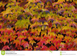 climbing plant with yellow and red leaves in autumn background