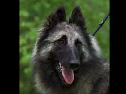 belgian sheepdog rescue ohio aftershock belgians belgian tervuren puppies for sale