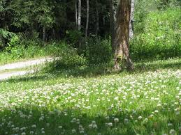 using clover as a green manure or cover crop self sufficiency