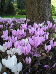 Beautiful Plants by Cyclamen So Dainty U0026 Beautiful Urban Homesteading
