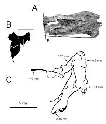 sauroposeidon search results sauropod vertebra picture of the
