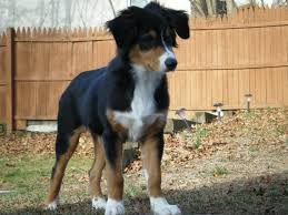 5 month old mini australian shepherd australian shepherd smart working dog collie australian