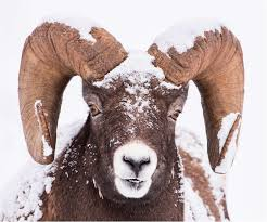 a snowy bighorn ram at rest christopher martin photography