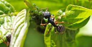 ant control in garden killing and controlling ants on plants