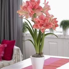 404 best amaryllis images on flowers garden gardening