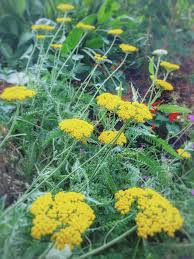 yarrow yellow garden plant fort worth texas yvnb99 backyard