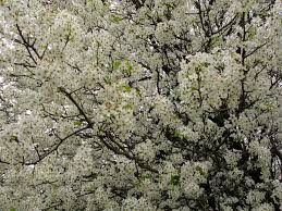 tree with white flowers white flowers everywhere blooming tree trees free nature