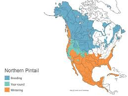 Migration Map Northern Pintail Waterfowl Id