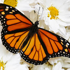 live monarch butterflies for release a butterfly release company