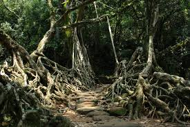 living root wood bridges woodland forum at permies