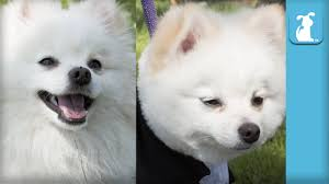 Dog Grooming Styles Haircuts Fluffy Pomeranian Gets Boo Haircut The Beauty Of Pets Youtube