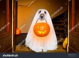 halloween pet background dog sit ghost halloween front door stock photo 498900274