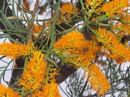 australian native plants perth nuytsia wikipedia
