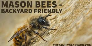mason bees great additions to your backyard the family backyard
