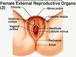 Anatomy Of Women Body Anatomy Of Female Reproductive System Human Anatomy Body
