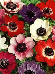 anemones flowers anemone