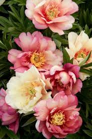 Peony Flower 684 Best Flowers Images On Pinterest Flowers Flower And Pretty