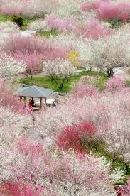 Cherry Blossom Facts by