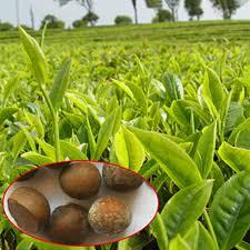 5pcs seeds green tea tree plant seeds garden camellia sinensis