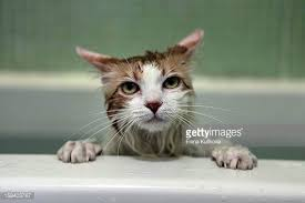 Cat In Bathtub Cat In Bathtub Stock Photos And Pictures Getty Images