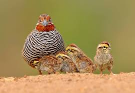 jungle bush quail perdicula asiatica in india birds birds