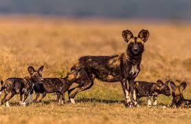 safari ltd african wild dog wild dog adventure adventures with wild dogs in botswana
