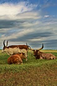 126 best cow images on pinterest animals farm animals and