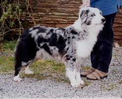 australian shepherd gray merle pictures australian shepherd health u0026 genetics institute