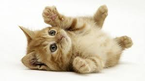 beautiful kittens beautiful kittens theme for windows 8 8 1