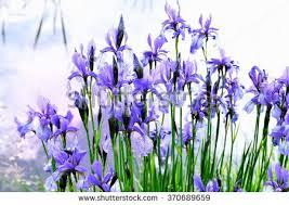 June Flowers - june flowers stock images royalty free images u0026 vectors