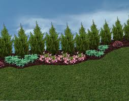 Backyard Trees Landscaping Ideas by Privacy Trees And Hedges In The Landscape The Planting Tree